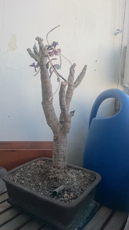 Bonsai verdorben, Pflanze verdorben, Baum verdorben